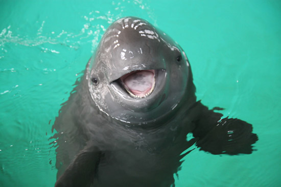ae331f5e5fb5 Zoo News Digest  Yangtze Finless Porpoises to be Captured