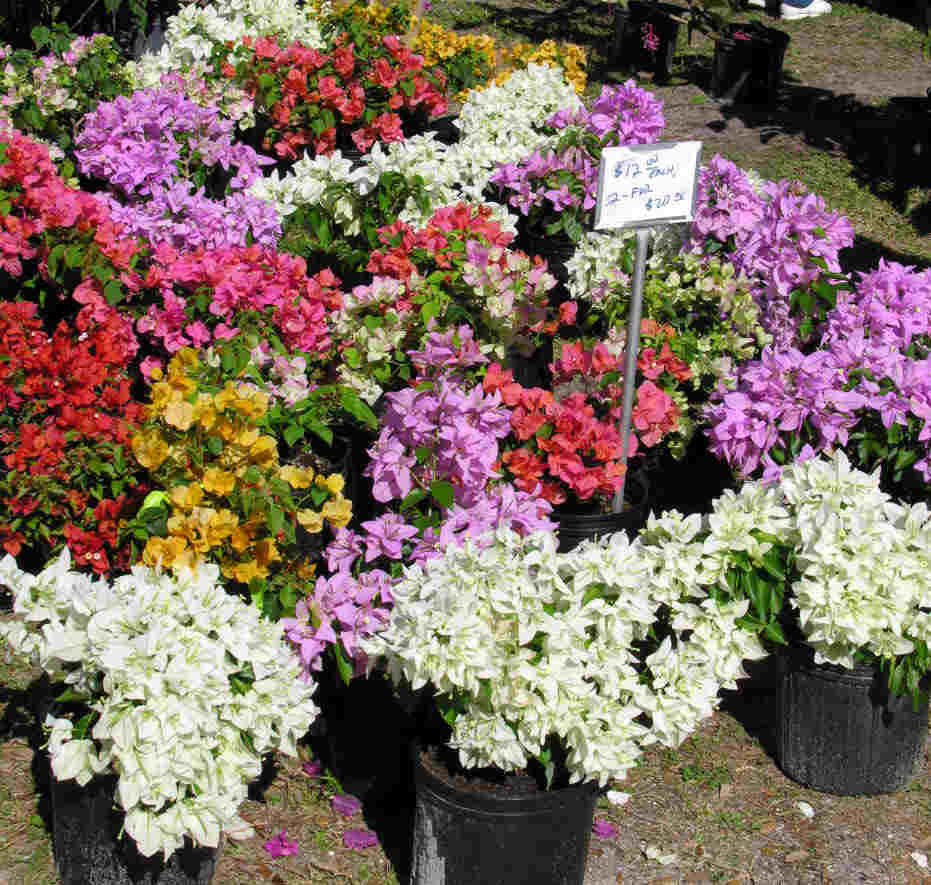 Anisti Ibuno Flowers : Bougainvillea Colors