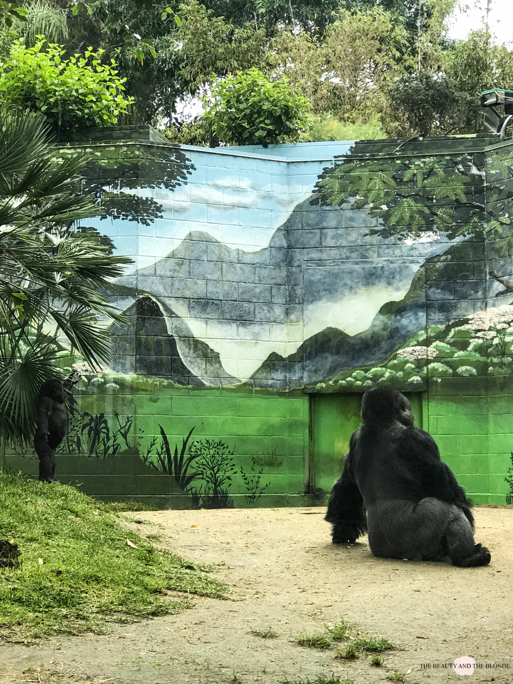 San Diego Zoo Gorilla Westcoast USA Roadtrip