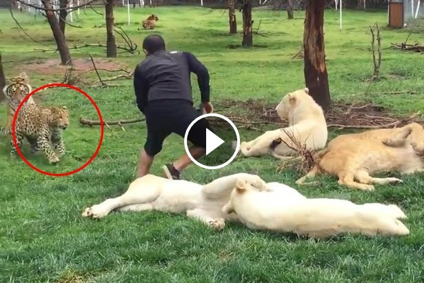 Video: Penjaga Zoo Nyaris Diterkam Harimau Bintang Di Sebuah Zoo