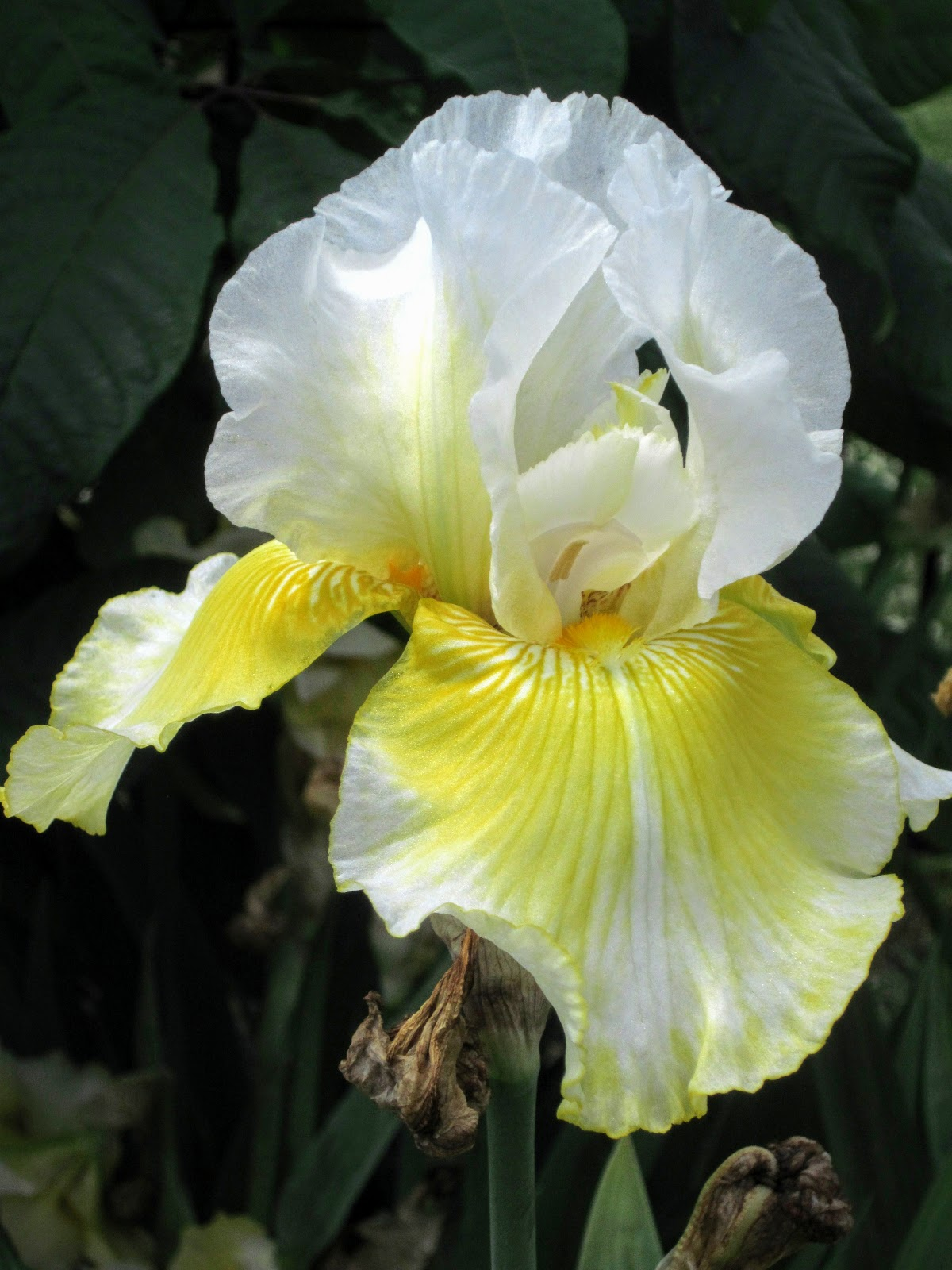 Widows Endorphins Rainbows And Irises