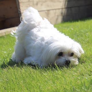 perro maltes en el jardin