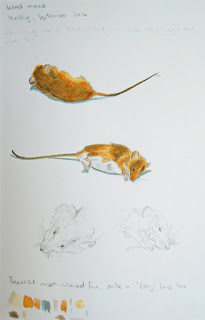 Wood mouse watercolour studies