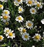Top 15 Most Powerful Medicinal Plants- Camomile medicinal plant