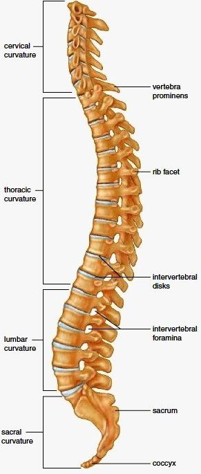 medical freak: OSTEOLOGY OF THE VERTEBRAE