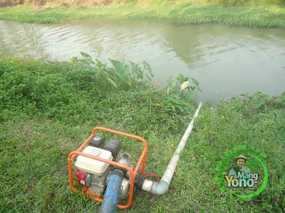 FOTO 4 : Pompanisasi Tanaman Padi TRISAKTI di Lahan Gogorancah