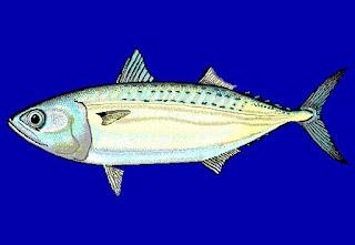 Ikan Kembung - Umpan Mancing di Laut, karangan, kapal, malahari, sianh hari pasiran