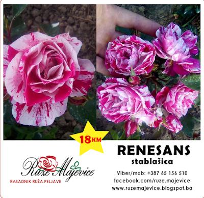 Stibaste ruže prodaja