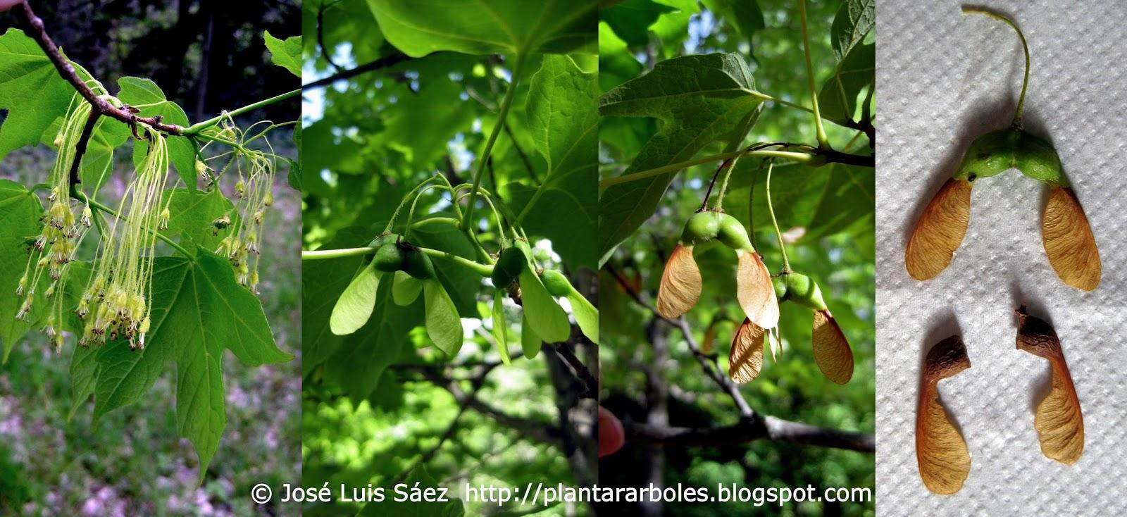 Plantar rboles y arbustos i rboles no aut ctonos de - Arce arbol espana ...