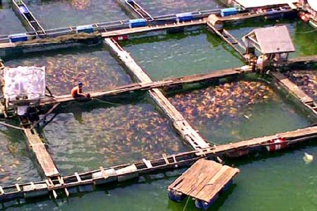 Budidaya Ikan Nila di Keramba Jaring Apung