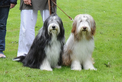 Bearded Collie - Great For The Family