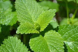 lemon balm plants.jpeg