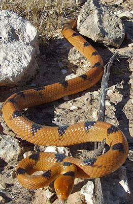 Serpiente tigre Telescopus semianulatus