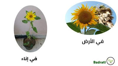 طريقة زراعة دوار الشمس بالبذور