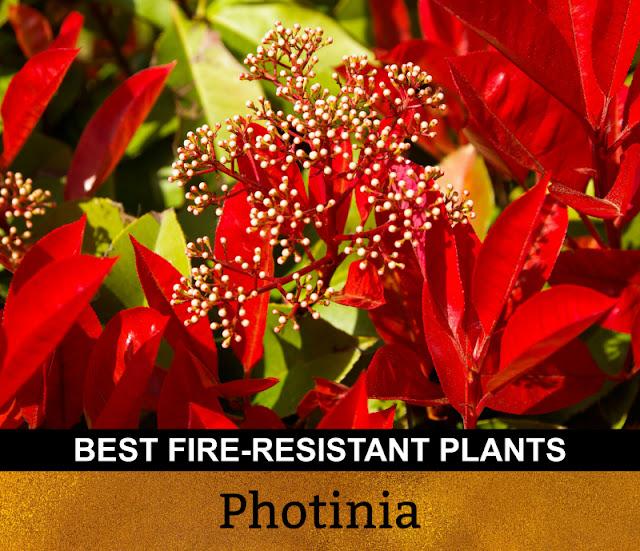 Best Fire Resistant Plants Photinia