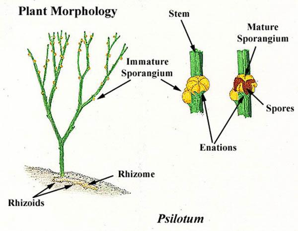 Psilotum sporophyte anatomy