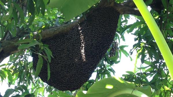 sarang lebah madu tualang di pokok tualang