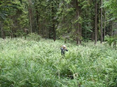 grzyby na Orawie, grzyby w lipcu, grzyby 2016, borowik szlachetny Boletus edulis, borowik ceglastopory Boletus luridoformis, muchomor mglajarka Amanita vaginata, muchomor czerwonawy Amanita rubescens, kolczakówka niebieskawa Hydnellum caeruleum