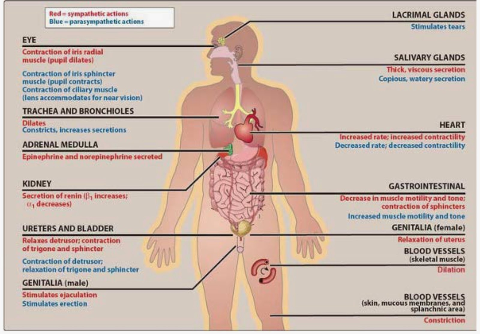 Sympathetic And Parasympathetic Diagram Lucas Ignition Switch Wiring Pharmacological Blog Cholinergic Agonists