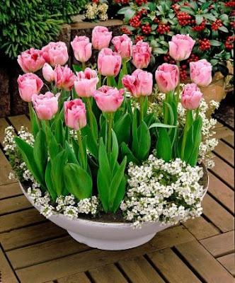 аленин сад, тюльпаны, в горшках, в композициях, в кашпо, в контейнерах, на выгонку, мускари, нарциссы, гиацинты, многоярусные посадки, смешанные посадки