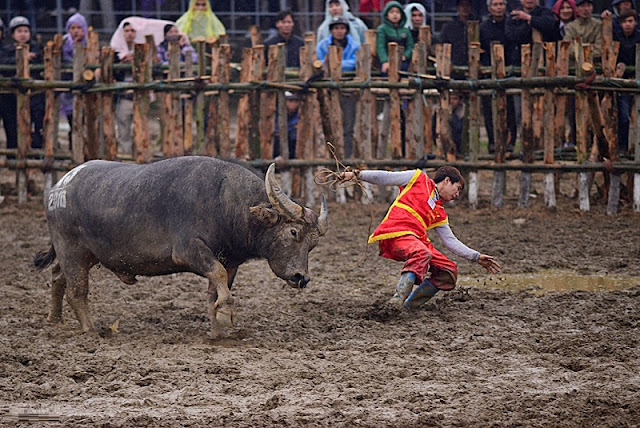 Buffalo Fighting Festival in Hai Luu, Vinh Phuc province 2