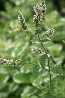 Menthe à feuilles rondes - Mentha suaveolens - Menthe odorante - Menthe suave