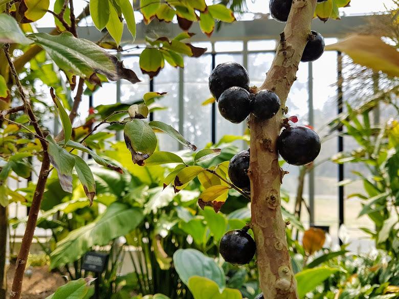 溫室內見到的樹葡萄 (嘉寶果)