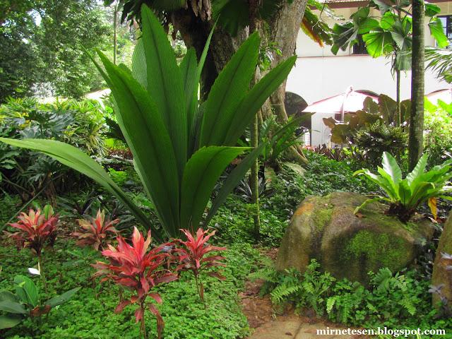 Ботанический сад Сингапура - йоханнестейсмания лансеолата