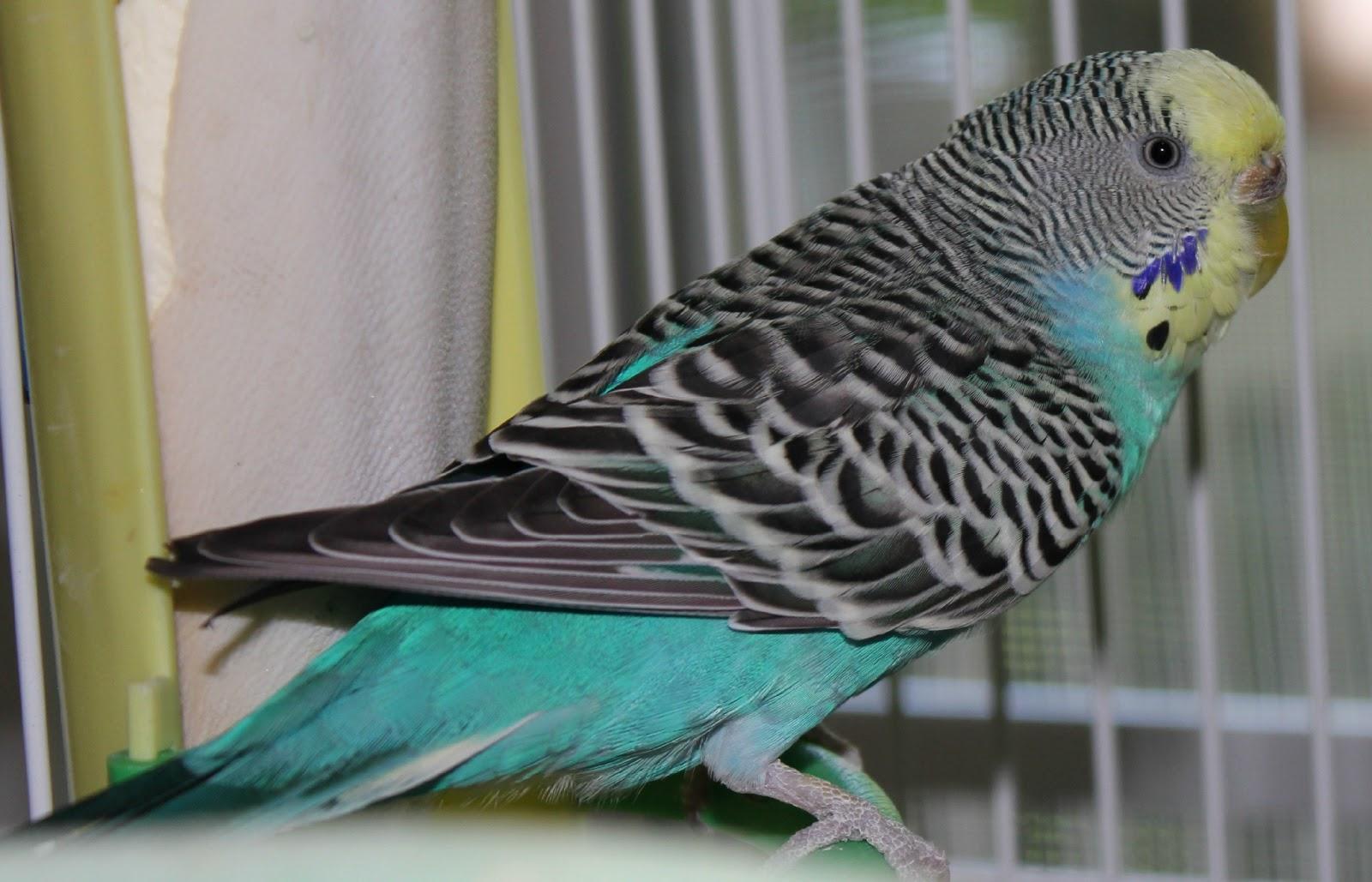 Blue Petsmart Parrots