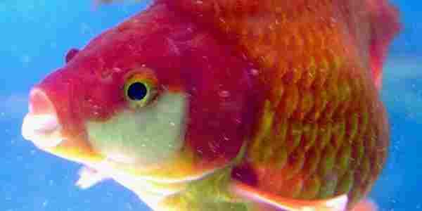 """السمكة اسمها """"S Legend"""" ، سمكة كوي كارب الاغلى في العالم"""