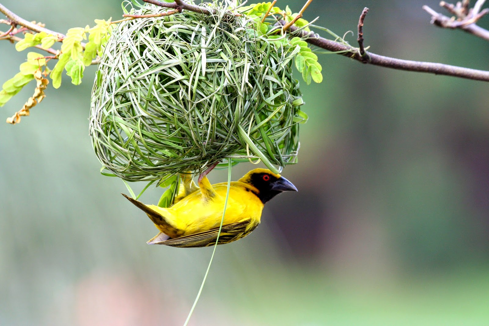 Bird S Nest Pictures 2015 Birds Nest Images And Wallpapers Nesting Birds