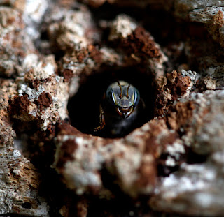 """Las colonias de meliponas tienen una entrada  muy pequeña por la que solo cabe una abeja.  En esta puerta hay una guardiana """"que con su  cabeza hace de puerta y nada entra ni nada  sale sin el permiso de esa abeja."""""""