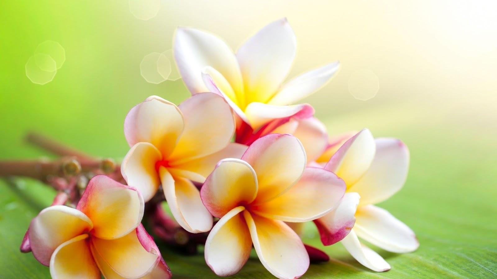 30 Fakta Menarik Bunga Melati Untuk Menambah Wawasan SEGALA FAKTA