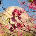 Bosque das Cerejeiras | Pedra Azul