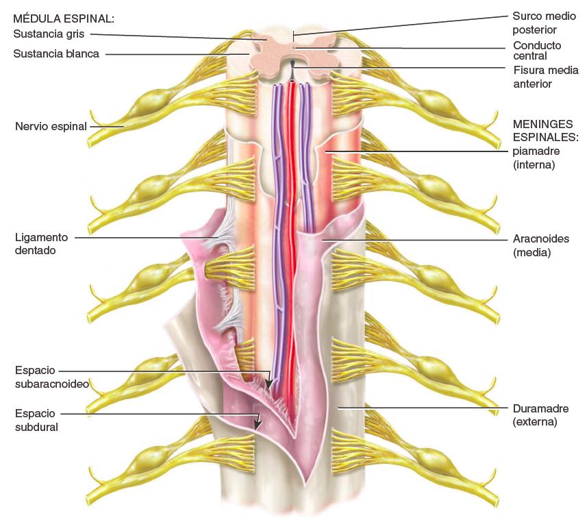 Bonito Anatomía Del Canal Espinal Inspiración - Imágenes de Anatomía ...