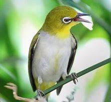 dan ada juga yang menyebutnya dengan burung mata putih ini merupakan jenis  burung pengicau Download Suara. Burung pleci ... 45f394b065