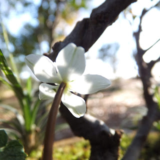 開花した梅花黄連の盆栽を屋外で撮影しました。