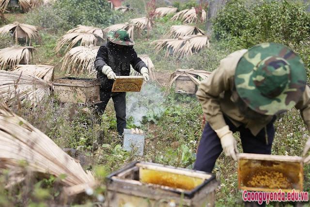 nuôi ong bạc hà