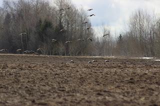 Гуси, весенняя охота
