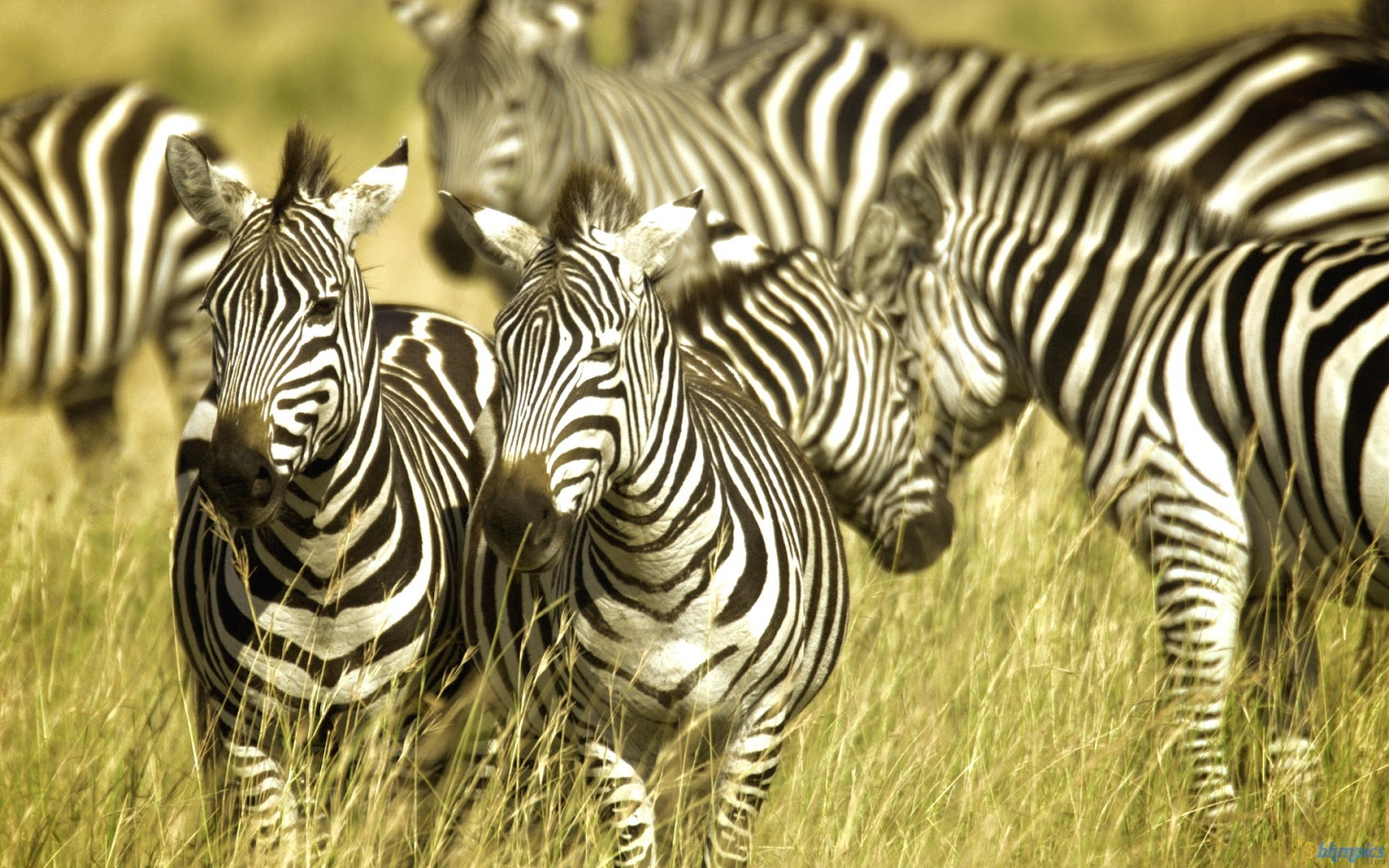 Cute Funny Babies Hd Wallpapers Top 20 Most Cute And Dashing Zebra Wallpapers In Hd