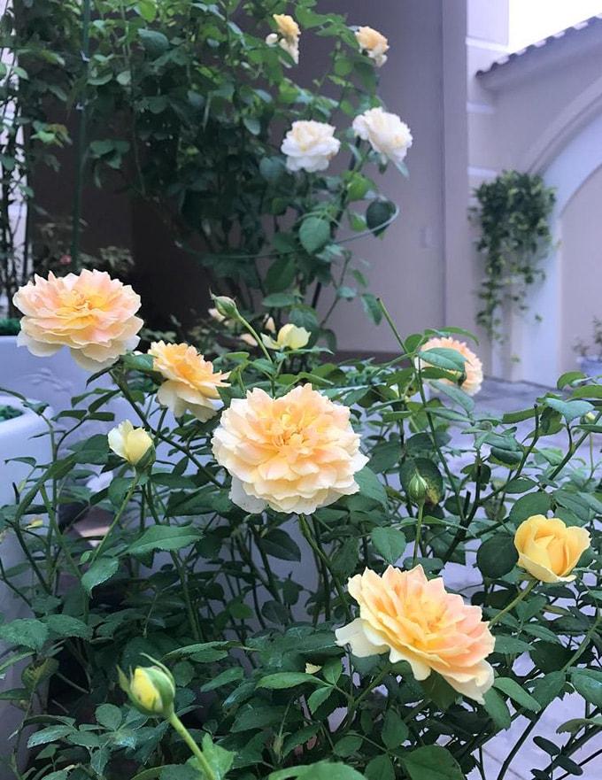Sân vườn 50 m2 phủ kín hoa hồng của bà mẹ Hòa Bình -10