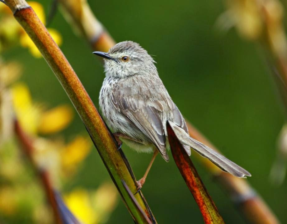 africans birds Prinia