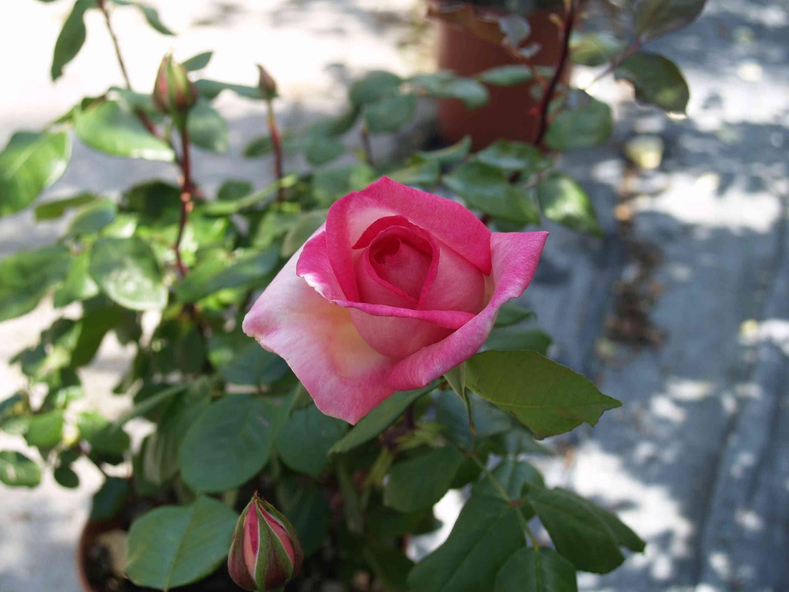 Quante Varietà Di Rose Esistono vivaio armeni: meta di primavera! - natosottoilcavoloblog