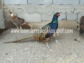 Ring neck hijau atau blue black ring neck pheasant