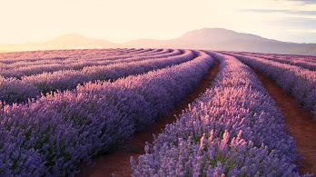 Flower, Lavender, Nature, Landscape, Sunrise, Scenery, 4K, #164