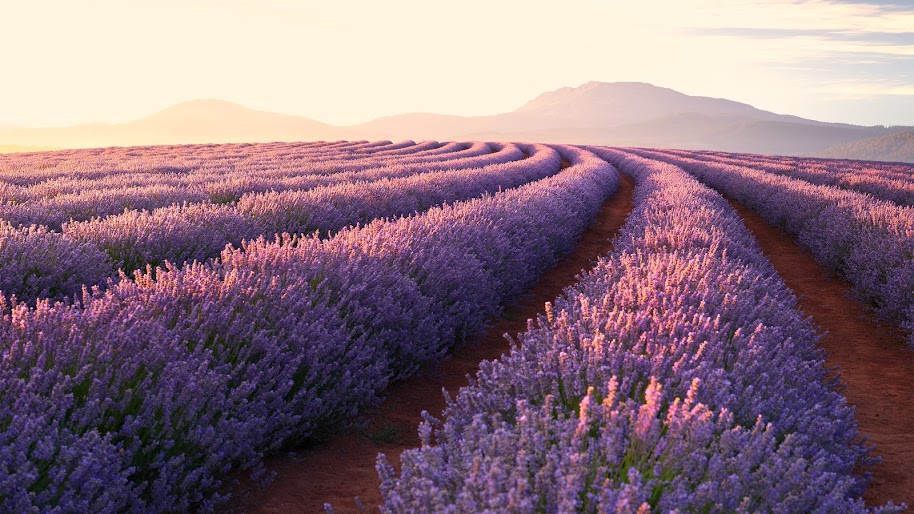 Flower, Lavender, Nature, Landscape, Sunrise, Scenery, 4K, #164