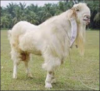 beternak kambing etawa