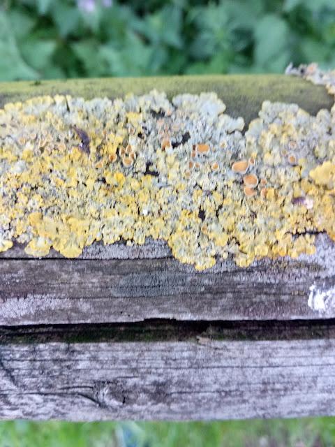 Líquenes sobre barandilla de madera