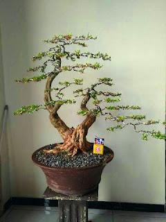 tanaman-bonsai-cendrawasih.jpg