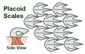 sisik tipe plakoid